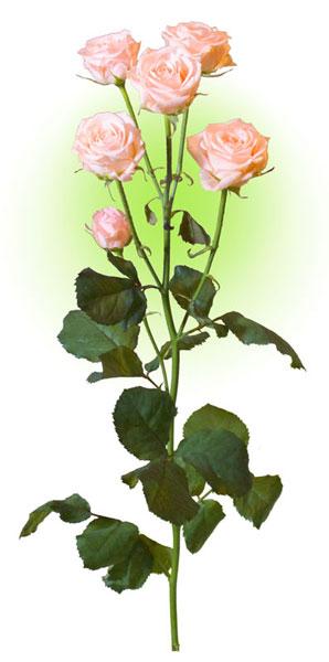 Троянда багатоквіткова