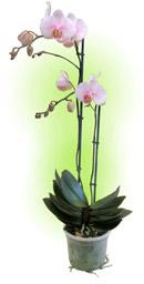 Фаленопсис (орхідея)