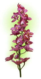 Orchid Cymbidium bordeaux