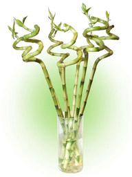 """Dracaena Sanderiana (""""Bamboo"""")"""