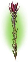 Leukodendron