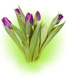 """5 тюльпанів """"Негріта"""""""
