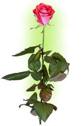 """Троянда коралово-рожева """"Вау"""""""