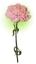 Гвоздика рожева