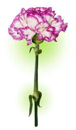 Гвоздика біло-пурпурова