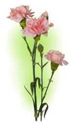 Гвоздика кущова рожева