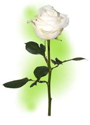 "Троянда ""Аваланш"""