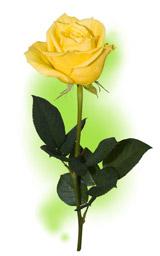 """Троянда """"Йеллоу Ісланд"""""""
