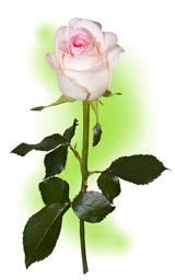 """Троянда """"Дольче Віта"""""""