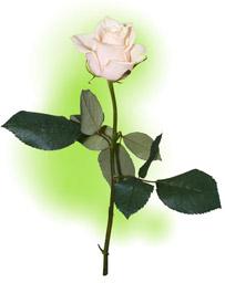 "Троянда ""Вандела"""