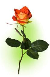"""Троянда """"Балада"""""""