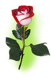 """Троянда """"Люксор"""""""