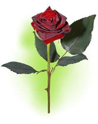 """Троянда """"Гран Прі"""""""