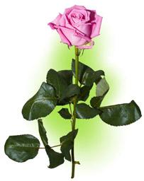 """Троянда """"Аква"""""""