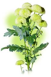 "Chrysanthemum ""Santini"""