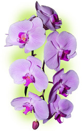 "Orchid ""Phalenopsis"""