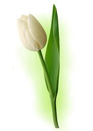 Тюльпан білий